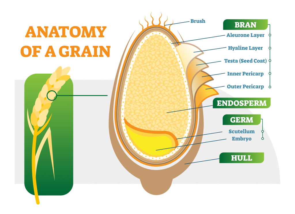 Anatomy of a Grain Grains in Weight Loss